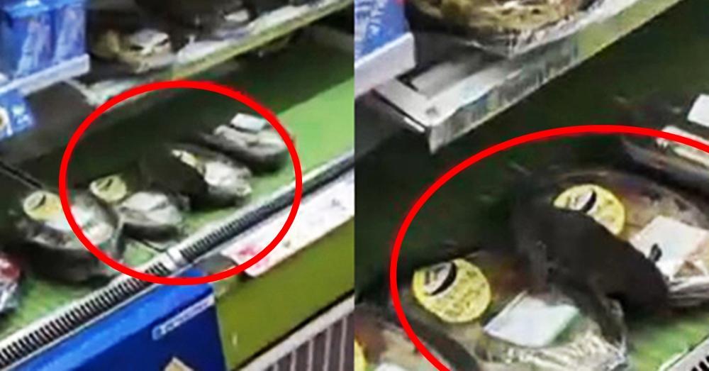 ชาวเน็ตจีนแชร์ภาพหนูยักษ์บุกร้านสะดวกซื้อชื่อดัง แอบกินอาหารบนชั้นวางของ