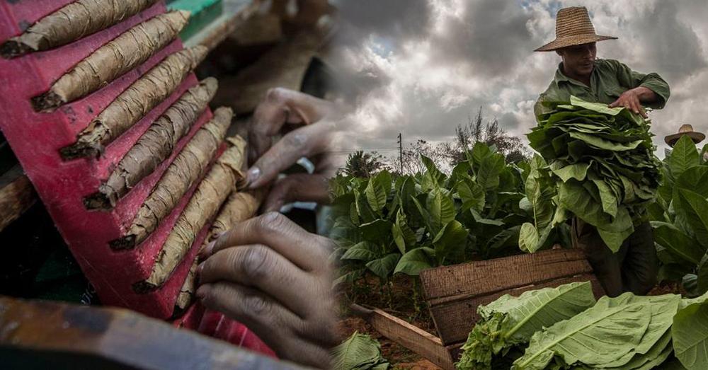 คิวบาพัฒนายาสูบมีกลิ่นหอมชนิดใหม่ที่ได้รับการยกย่องว่าดีที่สุดในประเทศ