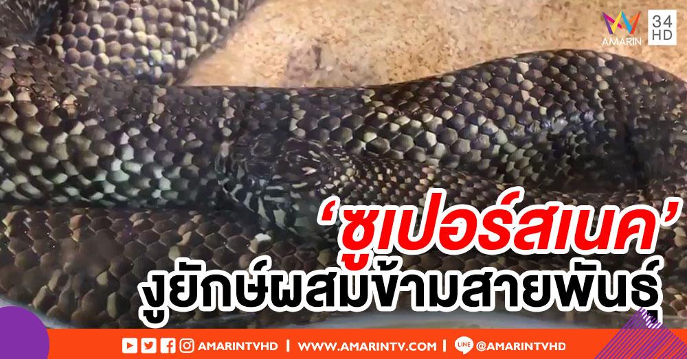 ฟลอริดาจ้างนักล่างูกำจัด 'ซูเปอร์สเนค' งูผสมข้ามสายพันธุ์ ขนาดยักษ์กว่า 5 ม.