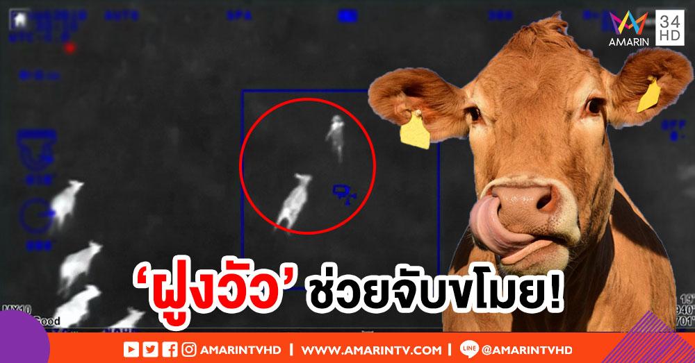 ทึ่ง! เปิดภาพ 'ฝูงวัว' ในสหรัฐฯ ช่วยตำรวจจับโจร