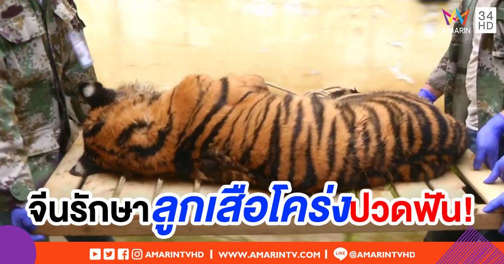 สวนสัตว์ยูนนานรักษา 'ลูกเสือโคร่งฟันผุ' หลังพบไม่กินอาหารนานร่วมสัปดาห์