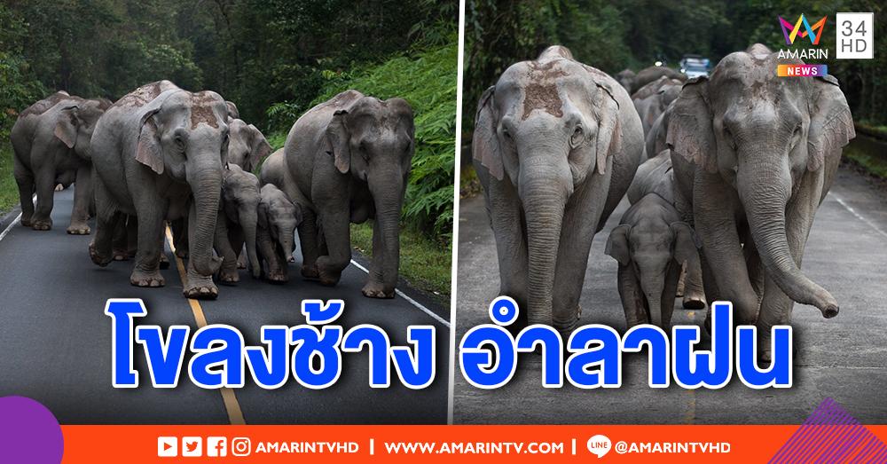 สุดน่ารัก! โขลงช้างป่าเขาใหญ่ อวดโฉมอำลาปลายฝน แนะนักท่องเที่ยวสัญจรระมัดระวัง (คลิป)