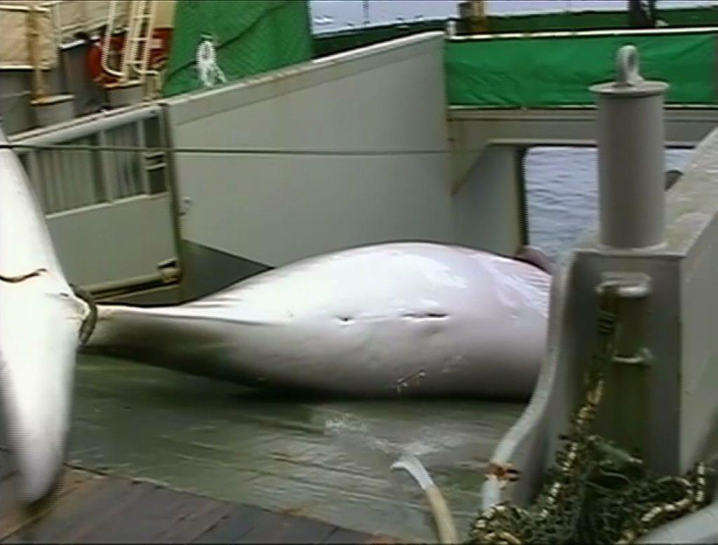 ล่าวาฬ
