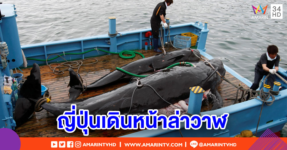 ญี่ปุ่นกลับมาเดินหน้า 'ล่าวาฬ' เพื่อการค้า หลังสั่งห้ามนานกว่า 30 ปี