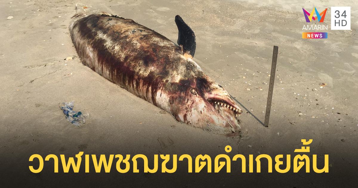พบ 'วาฬเพชฌฆาตดำ' ตายเกยตื้นหาดระยอง จนท.เร่งหาสาเหตุ
