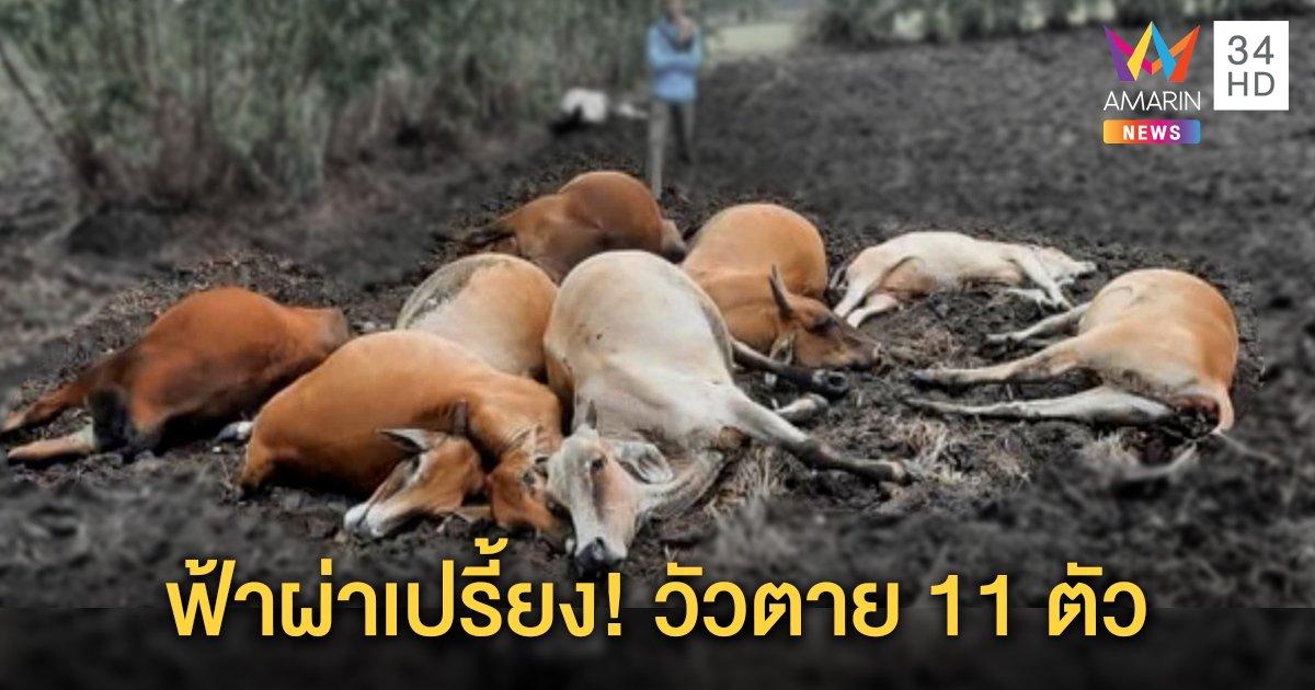 ฝนตกหนักร้อยเอ็ด ฟ้าผ่าลั่นกลางทุ่ง วัวตาย 11 ตัว ต้นยูคาลิปตัสไหม้