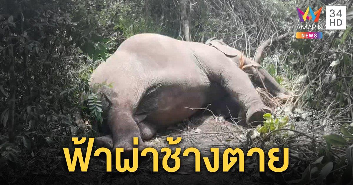 ช้างถูกฟ้าผ่าตายหลังฝนถล่ม สลดตุ๊กแก-งูเขียวตายคาป่า ควาญช้างเศร้ากลบร่าง