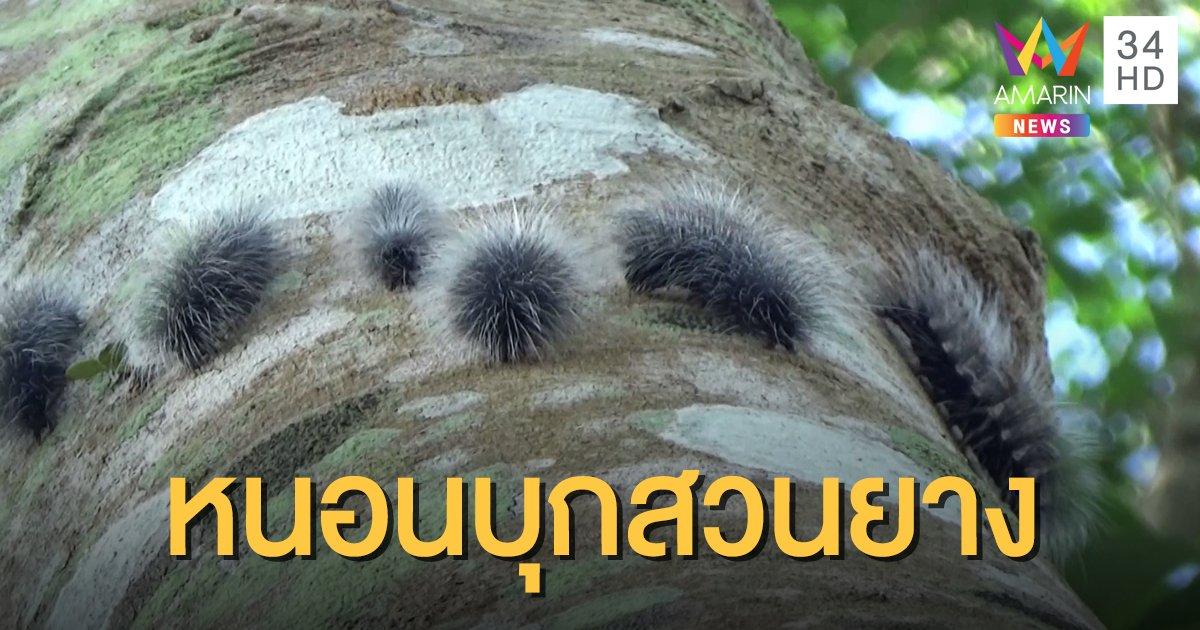 ขนลุก! หนอนบุ้งยักษ์สีดำนับหมื่น บุกสวนยางพารา