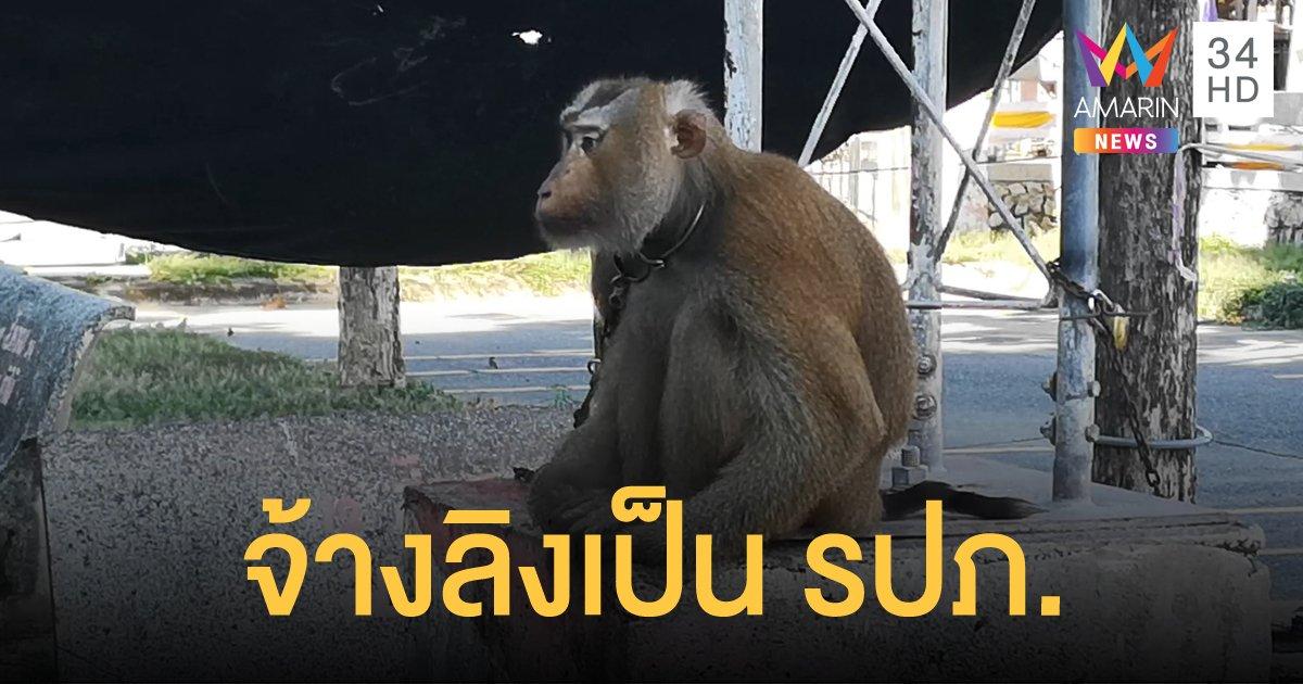"""จ้าง """"ลิงกัง"""" เฝ้าศาลากลาง ป้องกันไม่ให้ """"ลิงแสม"""" รื้อหลังคา"""