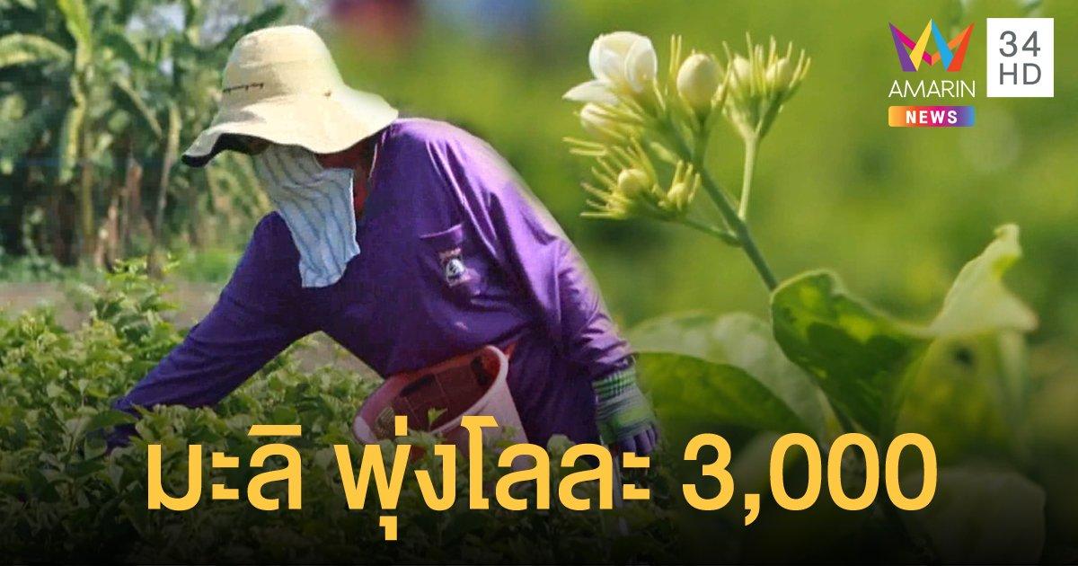 อากาศหนาว ดอกมะลิ ราคาพุ่งกิโลกรัมละ 3,000 บาท
