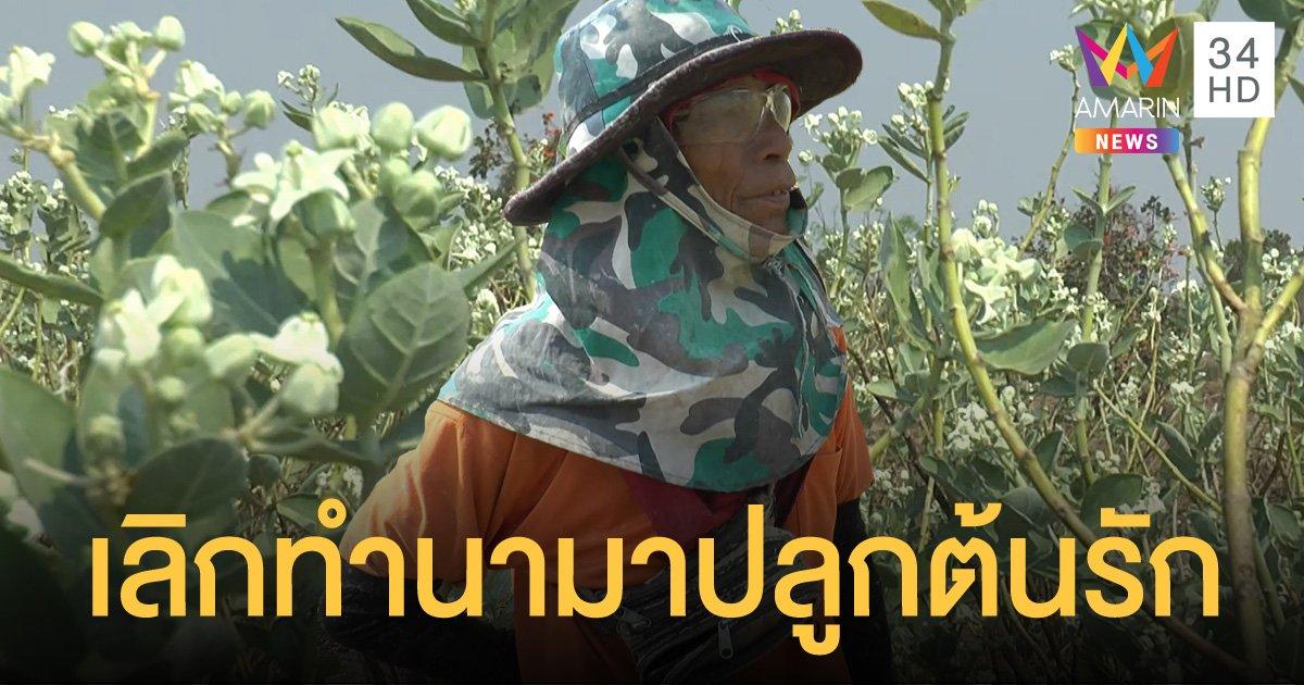 เกษตรกรโคราช ปลูกดอกรักสู้ภัยแล้ง รายได้งาม เก็บขายได้ทุกวัน