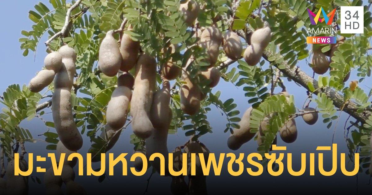 """เพชรบูรณ์โชว์มะขามหวานพันธุ์ใหม่ """"เพชรซับเปิบ"""" รสชาติหอมหวาน หนึ่งเดียวในโลก"""