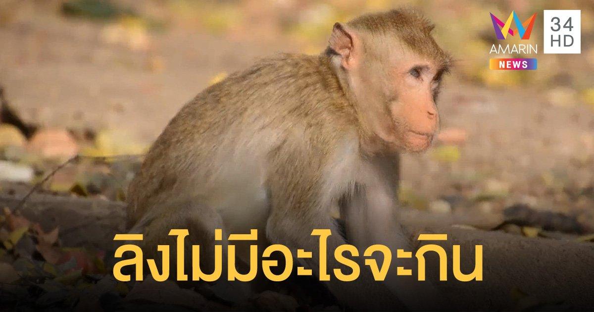 พิษโควิด ฝูงลิงป่านับพันตัวอดอยาก ไม่มีนักท่องเที่ยวนำอาหารมาให้