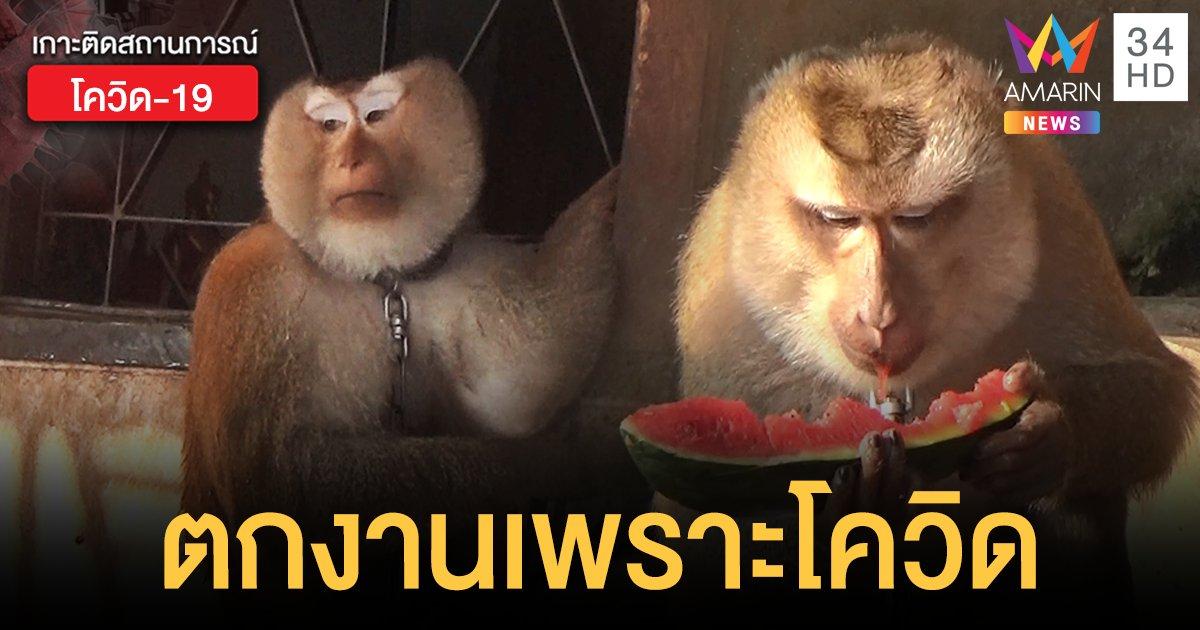 เวทนา! ลิงขึ้นมะพร้าว 2 ตัว ตกงานเพราะโควิด