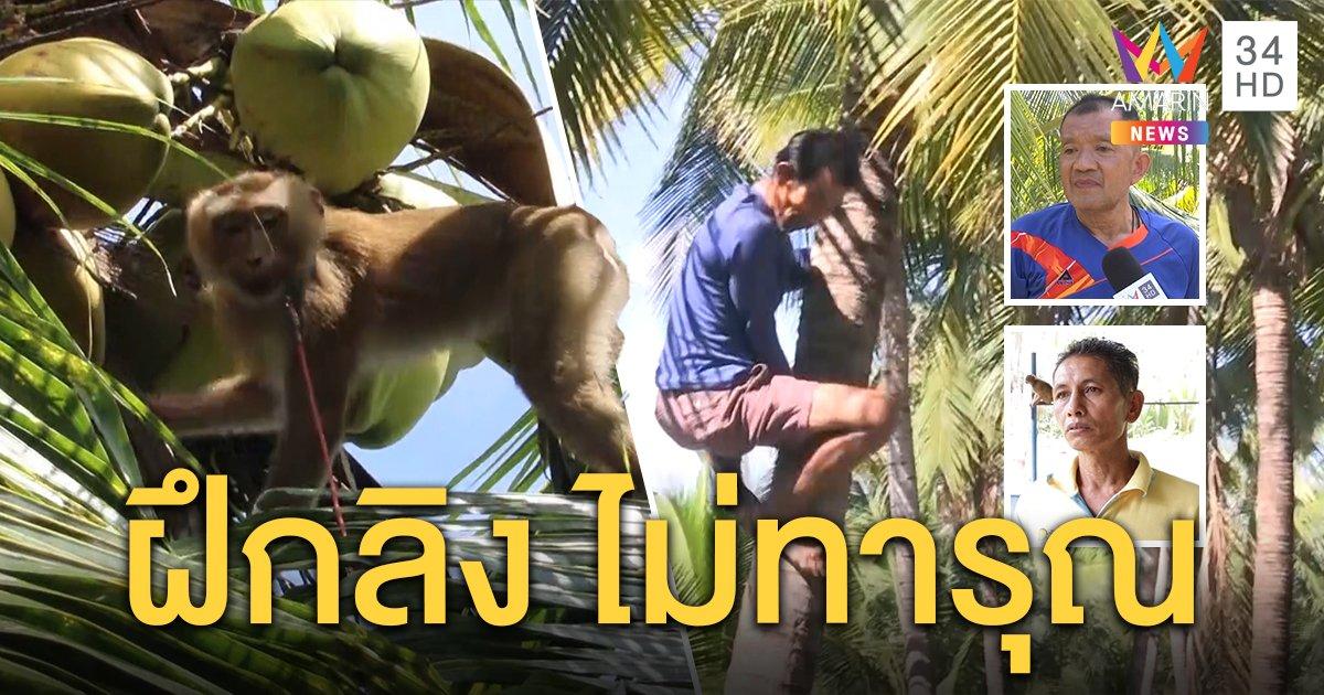 ชาวสวนแม่กลอง สาธิตใช้ไม้สอยมะพร้าวด้วยคน ชี้สอนลิงเป็นวิถีชาวบ้านไม่ทารุณ (คลิป)