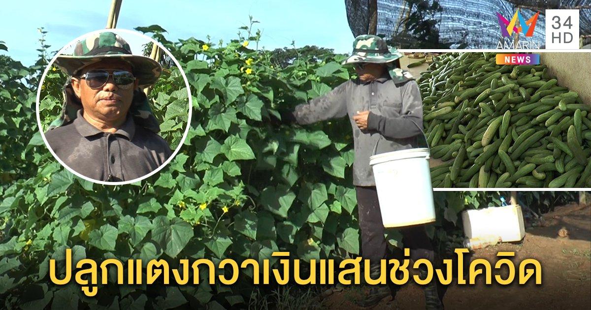 เกษตรกรสะเดาปลูกแตงกวา เก็บผลผลิตส่งขายวันละ 800–900 โล สร้างรายได้งามถึงหลักแสน