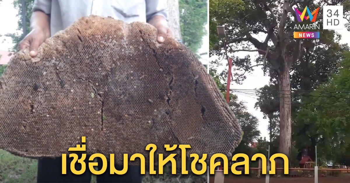 ฮือฮา! พายุพัดรังผึ้งหลวงขนาดใหญ่ตกจากต้นยาง อายุกว่า 250 ปี ชาวบ้านเชื่อให้โชคลาภ