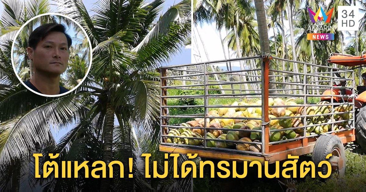 ชาวสวนมะพร้าวทับสะแก ยัน ไม่นิยมใช้ลิงกังเก็บมะพร้าว  แต่ใช้ไม้สอยแทน