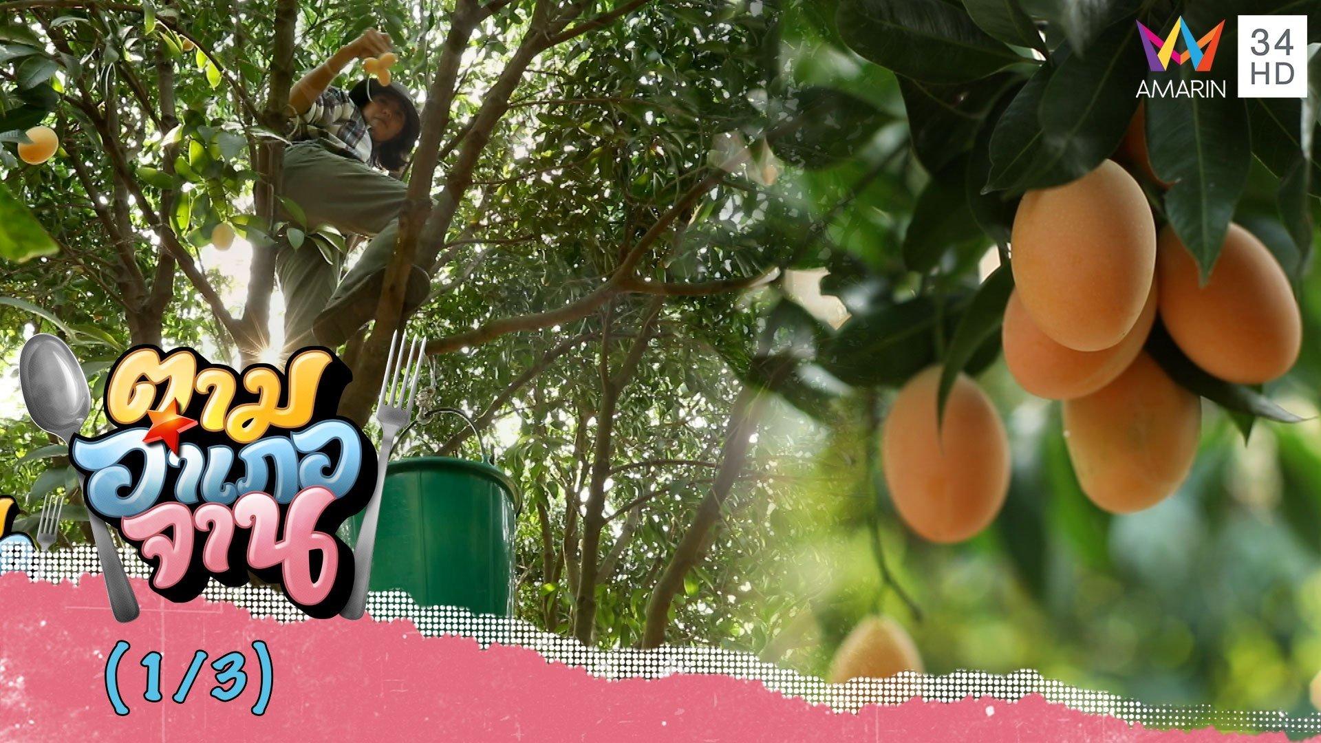 เข้าสวนปีนเก็บ 'มะยงชิด' จ.อุตรดิตถ์   ตามอำเภอจาน   4 เม.ย. 63 (1/3)   AMARIN TVHD34
