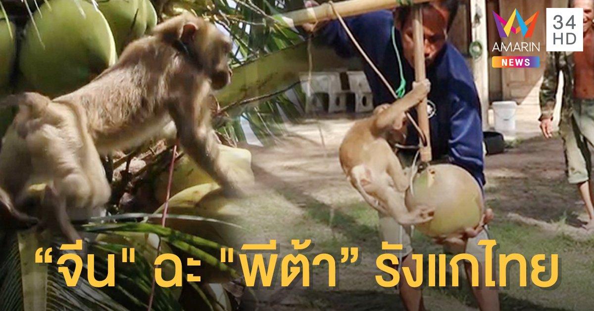 """""""จีน"""" จวกพีต้า กล่าวหาไทยใช้แรงงานลิง ดูออกเจตนากีดกันทางการค้า"""