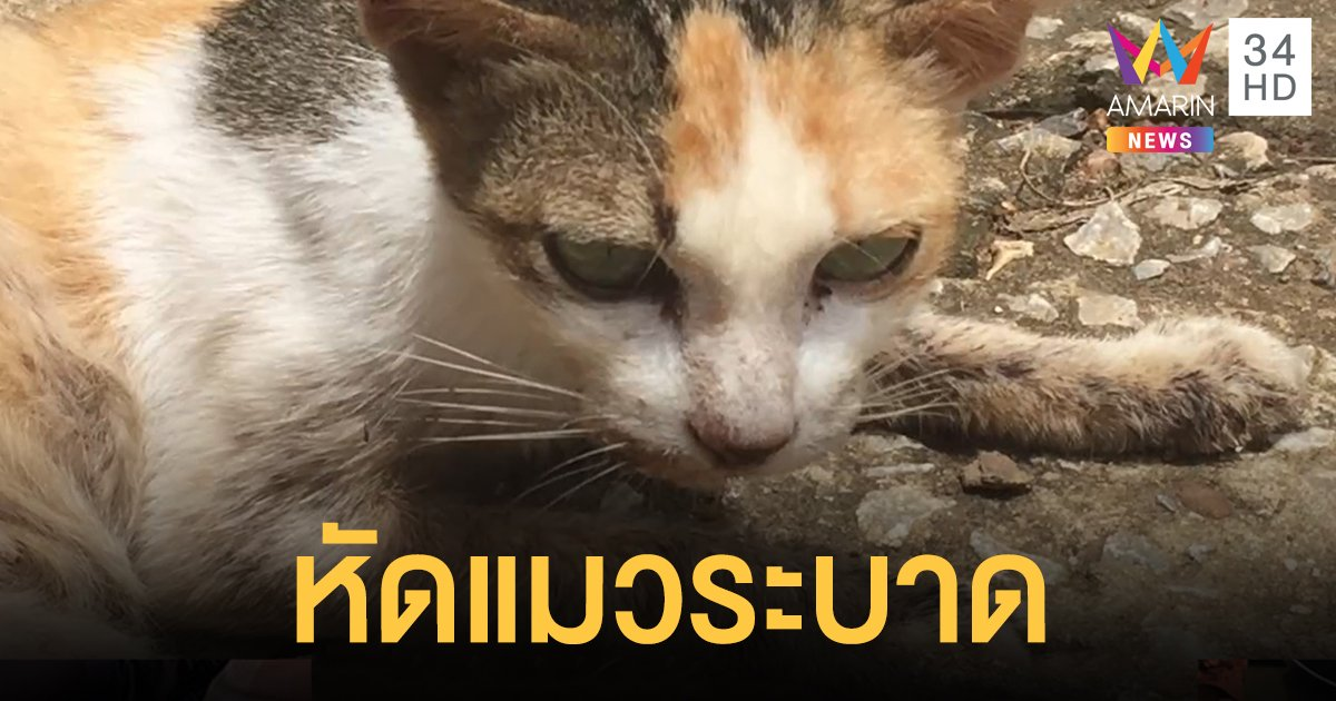หัดแมวระบาดเพชรบูรณ์ แพทย์เผยติดต่อผ่านสารคัดหลั่ง ไม่พบแพร่สู่คน-สุนัข