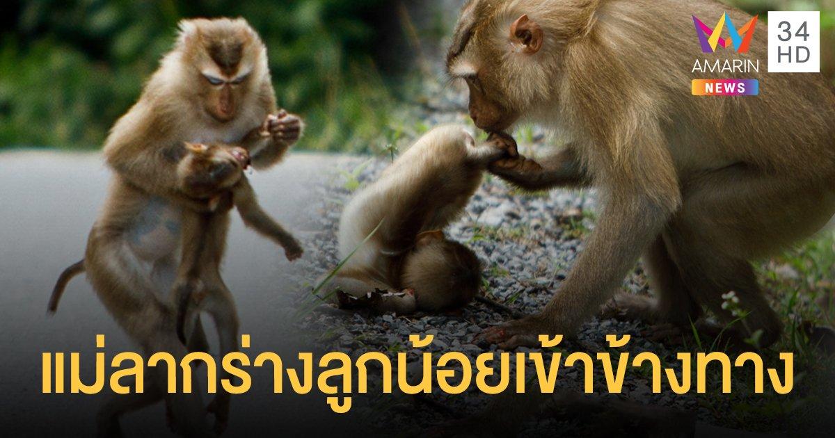 ลูกลิงเขาใหญ่ถูก นทท.ซิ่งชนดับ แม่ลากร่างเข้าข้างทาง สุดหดหู่!