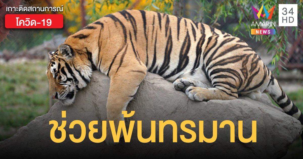 สวนสัตว์สวีเดนการุณยฆาต เสือป่วยโควิด-19 คาดติดจากพนักงาน