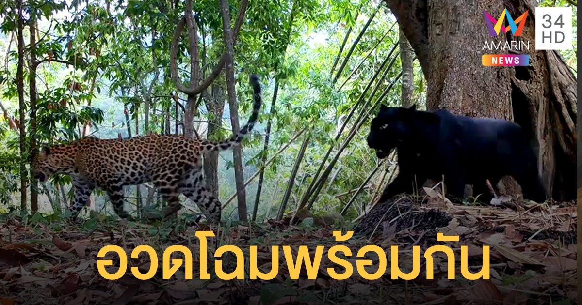 """""""เสือดาว-เสือดำ"""" อวดโฉมพร้อมกัน ในผืนป่าคลองลาน"""
