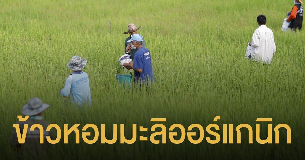 ดันข้าวหอมมะลิออร์แกนิกไทย ตีตลาดทั้งใน-ต่างประเทศ
