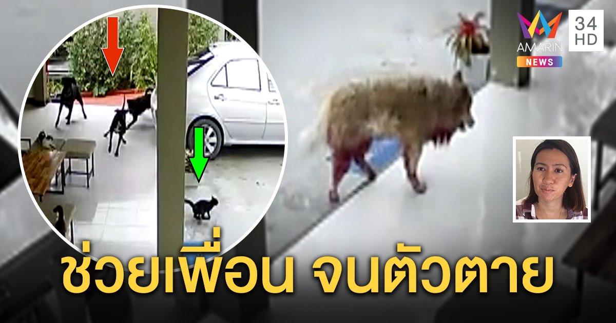 เจ้าของสุดเศร้าบางแก้วพ่อพันธุ์ช่วยแมวบ้านสู้ 3 ร็อตไวเลอร์รุมกัดจนตัวตาย (คลิป)